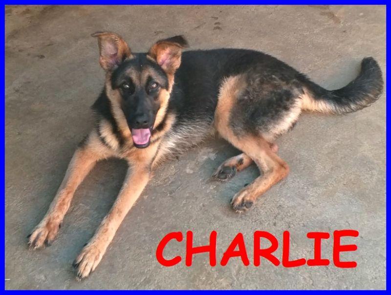 CHARLIE cucciolone lupacchiotto 10 mesi ceduto dal padrone che non lo vuole più