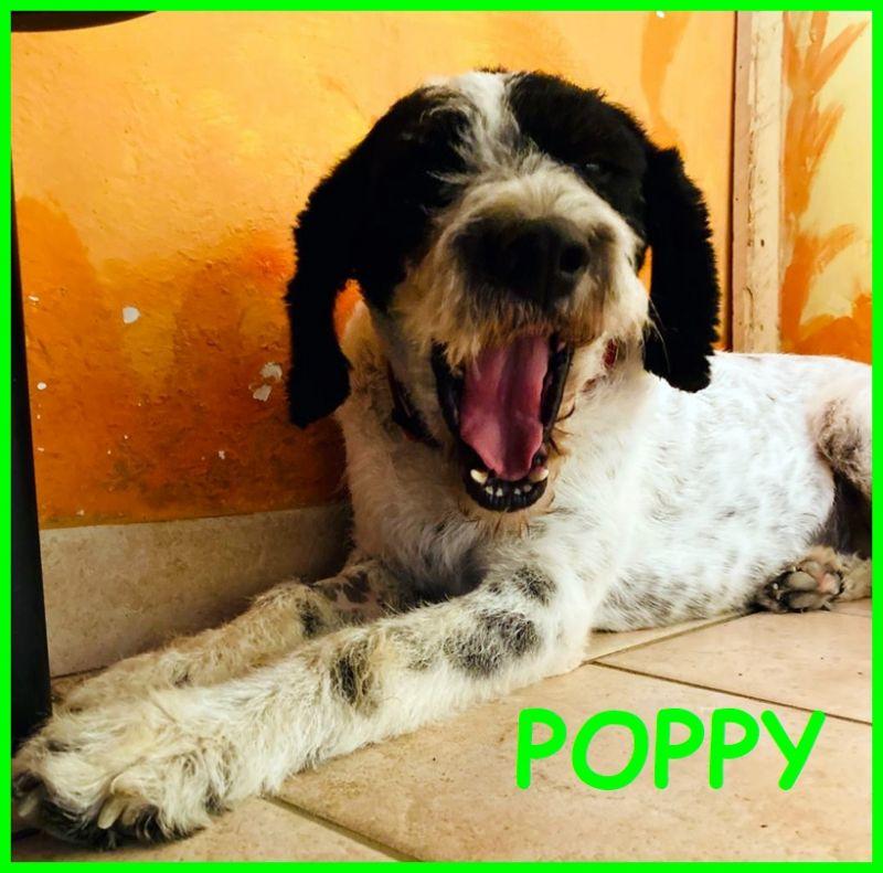 POPPY simil lagottina segugia 2 anni una cagnolina perfetta il sogno per chiunque