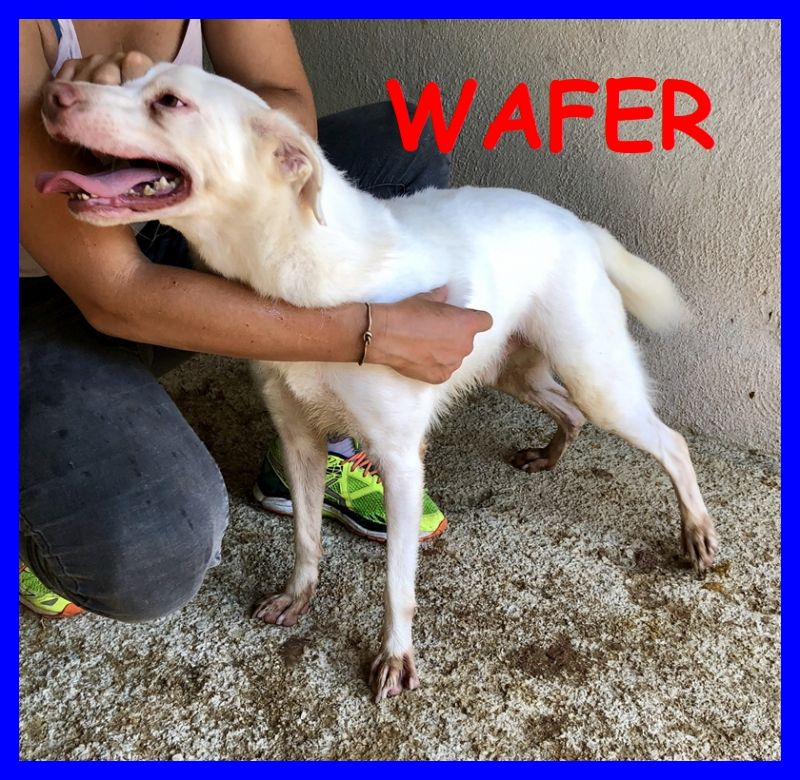 WAFER simil labrador super coccoloso da una vita in canile
